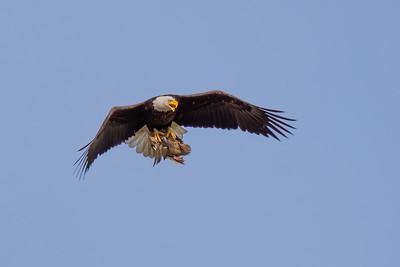 Eagle #18