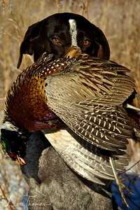 Maggie with Pheasant
