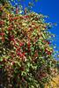 Decorative apple tree in Bethel Heritage Park, Winkler, Manitoba, Canada.