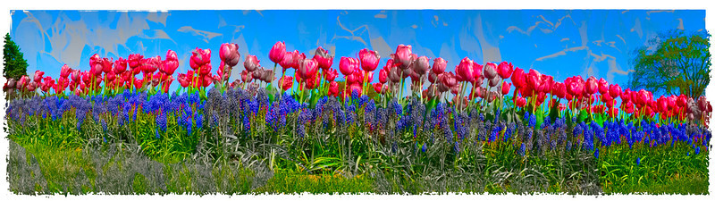 tulip pano web copy