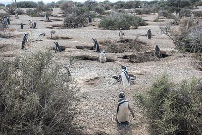 Penguins in Puerto Madryn