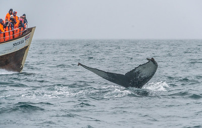 Whale watching in Akureyi, Iceland