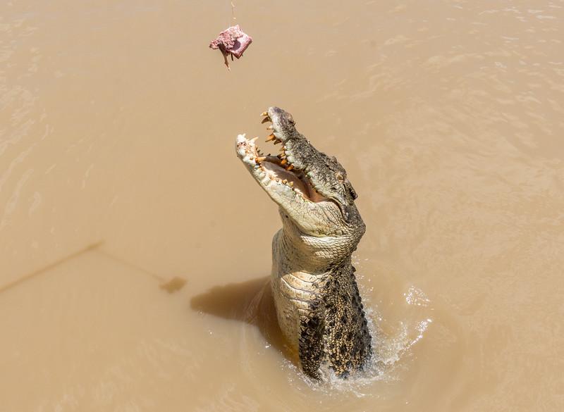 Alligator jumps for treat