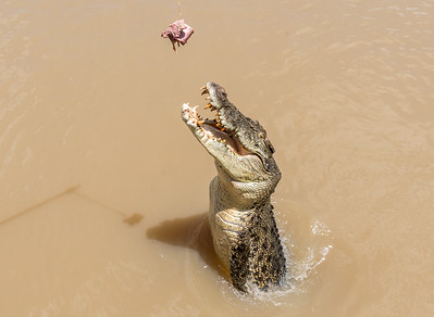 Alligator jumps for treat