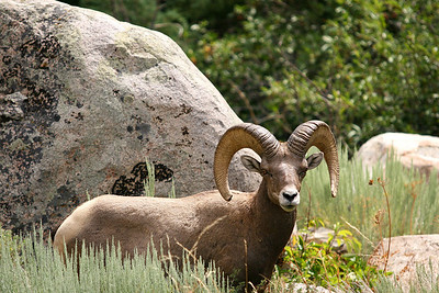"Bighorn Ram in Sinks Canyon, Winner of ""BEST OF SHOW"""