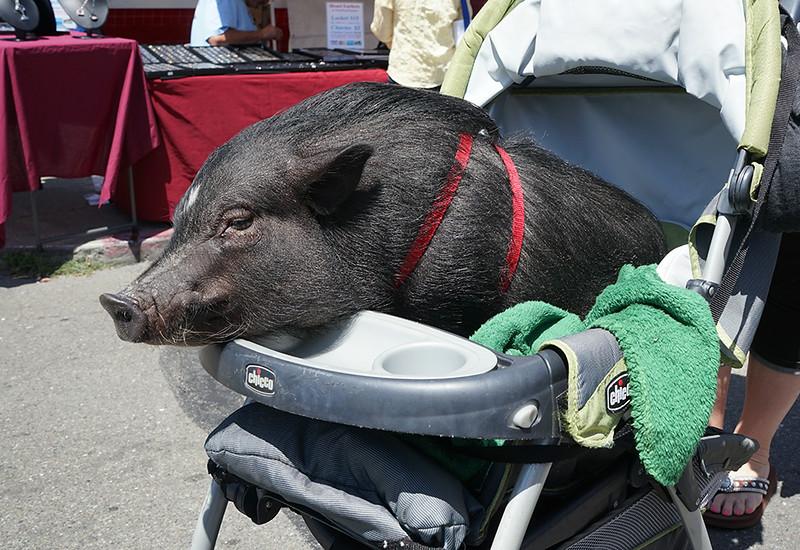 Pig At A Parade
