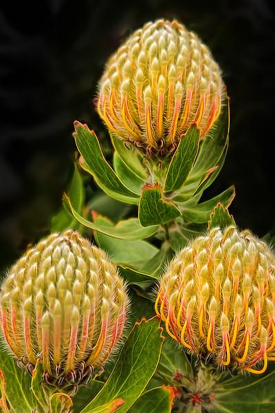 3 Protea