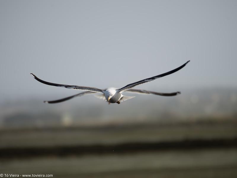 gaivota de 4 asas