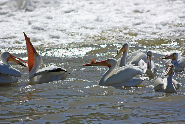 Pelicans at Lockport