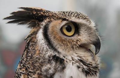 DAVID LIPNOWSKI / WINNIPEG FREE PRESS   Wildlife Haven Rehabilitation Centre ambassador Max, a great horned owl educates patrons of the The Forks at Travel Manitoba and Saturday April 23, 2016.