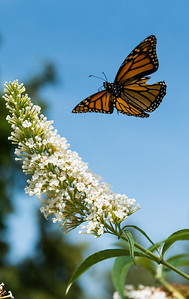 DAVID LIPNOWSKI / WINNIPEG FREE PRESS  A Monarch butterfly at Assiniboine Park's English Garden Sunday August 19, 2018.