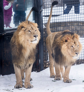 DAVID LIPNOWSKI / WINNIPEG FREE PRESS  Twin Asiatic Lion brothers, Bhanu and Kamal at the Assiniboine Park Zoo Friday February 19, 2016. The pair have called Winnipeg home since 2012, when they arrived from the Zoologischer Garten Magdeburg in Germany, but will be heading to Great Britain next week.  The Assiniboine Park Zoo says this weekend is the last chance to see a pair of Asiatic lions. They are heading to zoological facilities in Great Britain on the recommendation of the European Endangered Species Program.