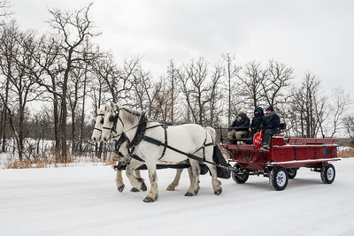 DAVID LIPNOWSKI / WINNIPEG FREE PRESS  Assiniboine Park Zoo staff from the McFeetors Heavy Horse Centre conduct training with Percheron horses at Assiniboine Park Sunday January 14, 2018.