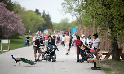 DAVID LIPNOWSKI / WINNIPEG FREE PRESS  People watch a Peacock cross the road at the Assiniboine Park Zoo Sunday May 22, 2016.