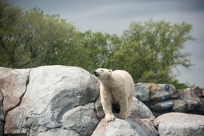 DAVID LIPNOWSKI / WINNIPEG FREE PRESS  Polar Bears at the Assiniboine Park Zoo Sunday May 22, 2016.