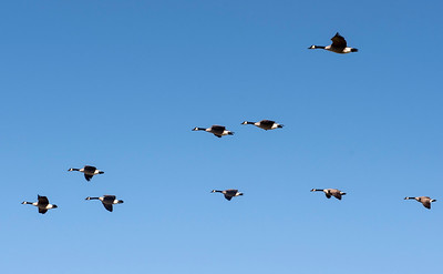 DAVID LIPNOWSKI / WINNIPEG FREE PRESS   Geese at Assiniboine Park Saturday November 5, 2016 on an unseasonably warm fall day.