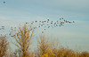 Fall migration of Canada Geese at the Fort Whyte Nature Center, Winnipeg, Manitoba, Canada.