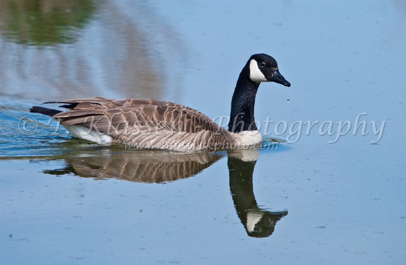 A lone Canada goose with reflection at the Fort Whyte Nature Center in Winnipeg, Manitoba, Canada.