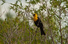 A yellow headed blackbird at the Fort Whyte Nature Center in Winnipeg, Manitoba, Canada.