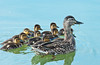 A female mallard duck with a brood of chicks at the Fort Whyte Nature Center in Winnipeg, Manitoba, Canada.