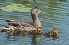 A female mallard duck with two chicks at the Fort Whyte Nature Center in Winnipeg, Manitoba, Canada.