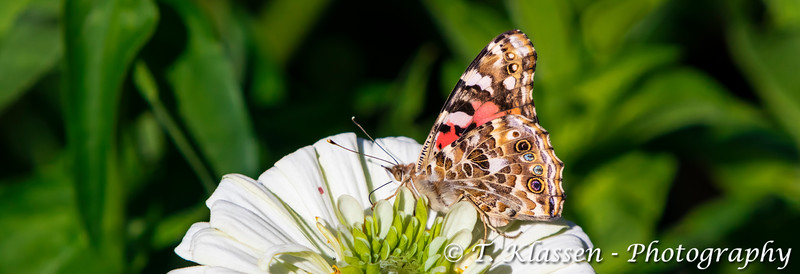 The Painted Lady (Vanessa cardui) butterfly preparing for the fall migration in the English Gardens of Assiniboine Park, Winnipeg, Manitoba, Canada.