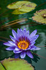 Closeup of a water lily at the Leo Mol Gardens in Assiniboine Park, Winnipeg, Manitoba, Canada.