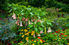 Angels Trumpet bush and flowers in the English Gardens of the Assiniboine Park in Winnipeg, Manitoba, Canada.