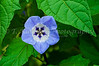 A closeup of a Nicandra physalodes flower in the English Gardens, Winnipeg, Manitoba, Canada.
