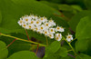 A cluster of white choke cherry blossoms in spring at King's Park in Winnipeg, Manitoba, Canada.
