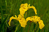Yellow Iris in bloom in the marshes of King's Park, Winnipeg, Manitoba, Canada.