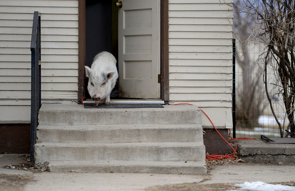 . Winston, a 7-year-old Vietnamese pot-bellied pig, wanders around his owner\'s yard near Niwot, Colorado on Jan. 30, 2018. (Photo by Matthew Jonas/Staff Photographer)
