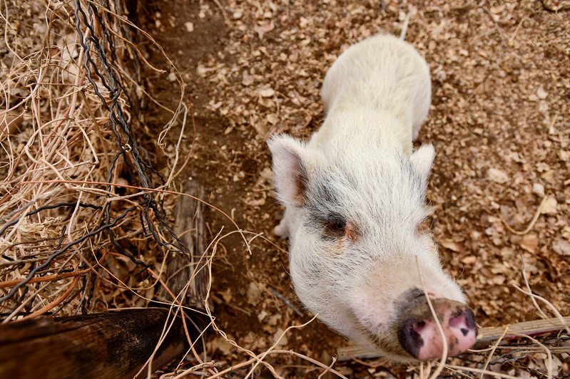 Winston the Pig