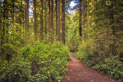 Lady Bird Johnson Grove, Humboldt County, California. 24 December 2016.