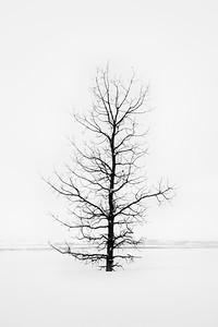 Oak Tree 1.0