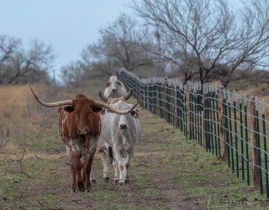 """Horn"" leads the Brahmas to the next pasture"