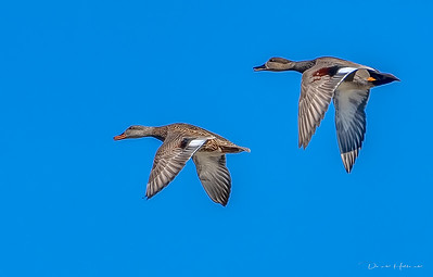 A Gadwall couple flyby