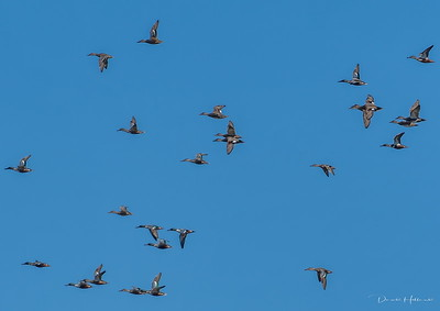 """Smilers"" and a few Gadwall's circle in for a landing at L7"