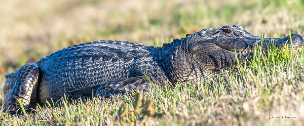 The sun brought out the gators for a sunning session