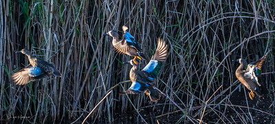 Blue-winged Teal rise