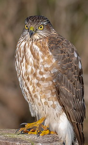 This Red-shouldered Hawk posed long enough for a close up shot