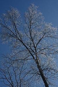 Icy Tulip Tree