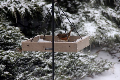 Winter Backyard Feathered Friends