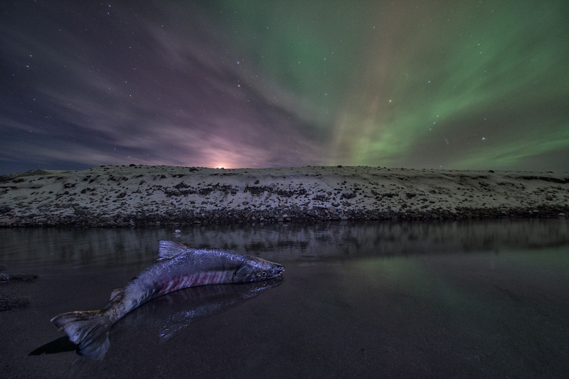 A chum salmon stuck in shallow water under the northern lights on the Kluane River in North Yukon. The chum salmon migrate over 3,000 km up the Yukon River and into the Kluane river before spawning and dying.