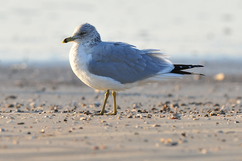 ring bill gull.jpg
