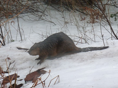 A beaver making its way to the pond