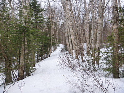 Birch lined trail