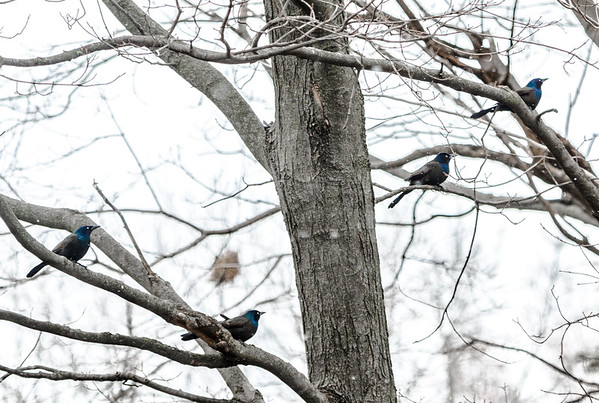 Grackles in a snow flurry