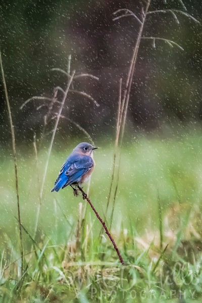 Eastern Bluebird In Winter