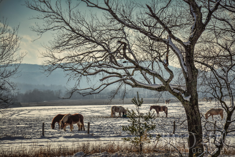 Cades Cove Horses